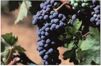Grapes on the vine at winery