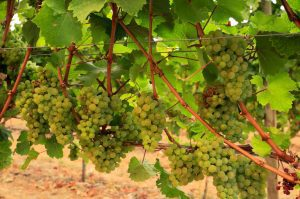 Read more about the article Winery Wastewater Treatment and Attaining Sustainability